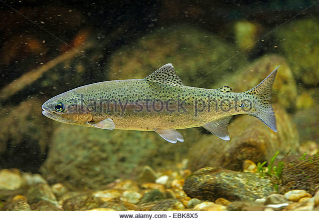 Rainbow Trout Swimming Stock Photos & Rainbow Trout Swimming Stock.