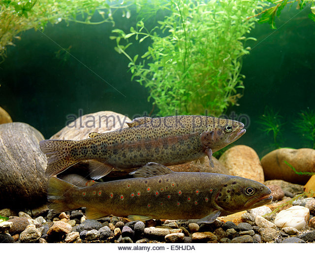 Spotted Trout Stock Photos & Spotted Trout Stock Images.