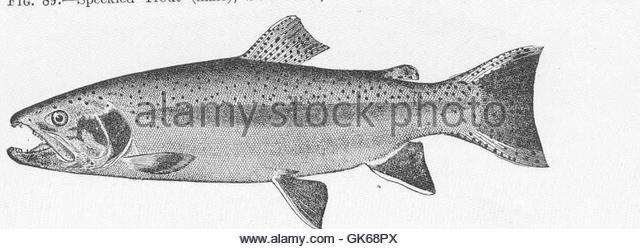 River Trout Black and White Stock Photos & Images.