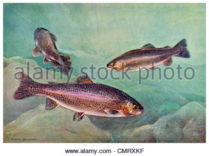A Black And White Drawing Of A Sea Trout Stock Photo, Royalty Free.