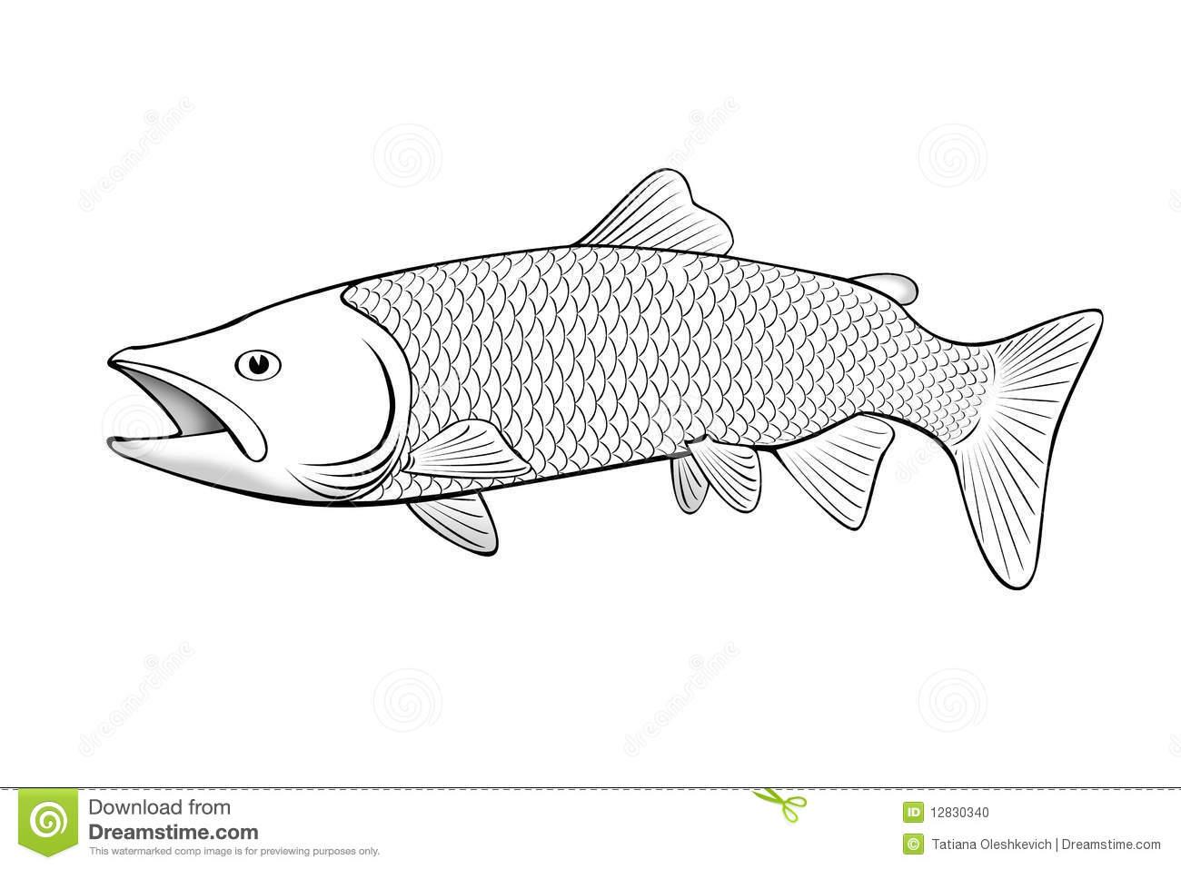 Salmon Fish Illustration On White Stock Photo.