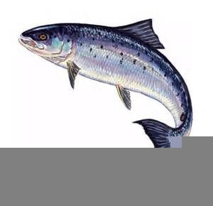 Leaping Salmon Clipart.