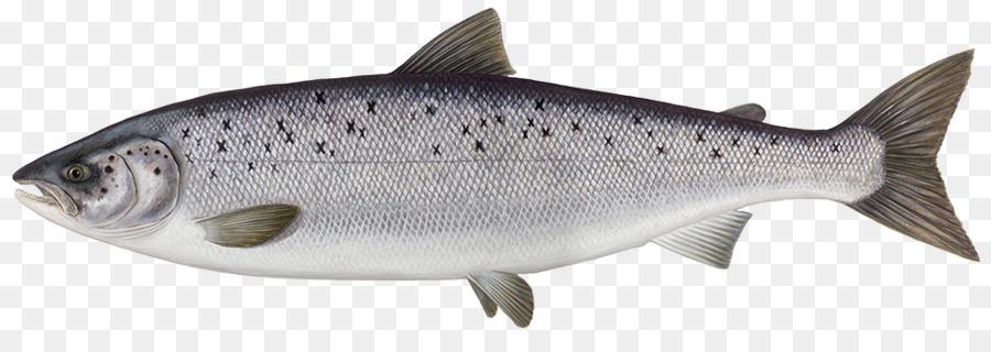 Atlantic Salmon Png & Free Atlantic Salmon.png Transparent.