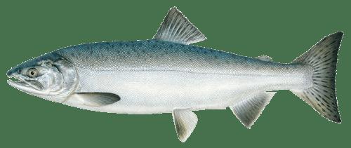 Pink Salmon transparent PNG.