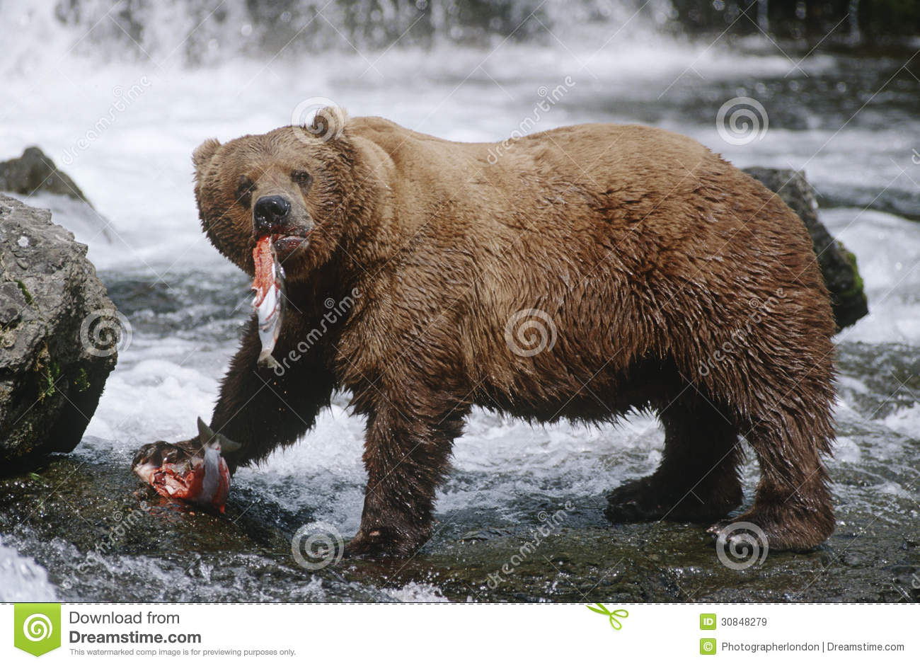 USA Alaska Katmai National Park Brown Bears Eating Salmon River.