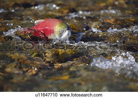 Stock Photography of Sockeye salmon (Oncorhynchus nerka), Adams.