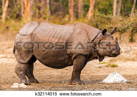 Stock Image of Rhino at salt lick k32114015.