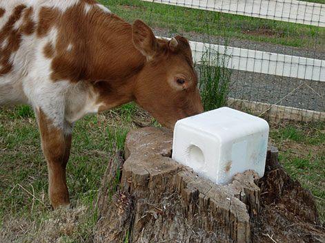 salt lick block for the cattle.