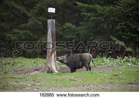 Stock Image of female wild boar at salt lick / Sus scrofa 162885.