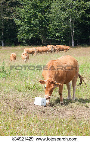 Stock Photograph of Limousin beef cow eating salt lick mineral.