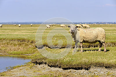 Sheep In Normandy Stock Photo.