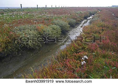 "Stock Photograph of ""Salt meadow with glasswort (Salicornia."