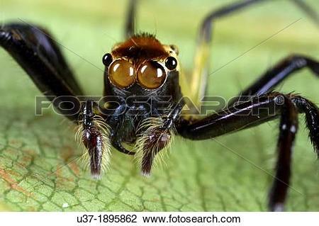 Stock Photo of Jumping spider Salticidae. Image taken at Kampung.