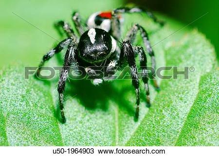 Stock Photo of Male Jumping spider. Salticidae, Araneida.