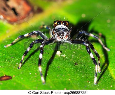 Stock Photo of Masoala jumping spider.
