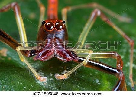 Pictures of Jumping spider Salticidae. Image taken at Kampung.