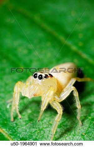 Stock Photography of Female Jumping spider. Salticidae, Araneida.