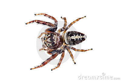 Jumping Spider, Family Salticidae Royalty Free Stock Image.