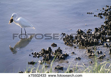 Stock Photo of White egret eats crab on oyster covered salt marsh.