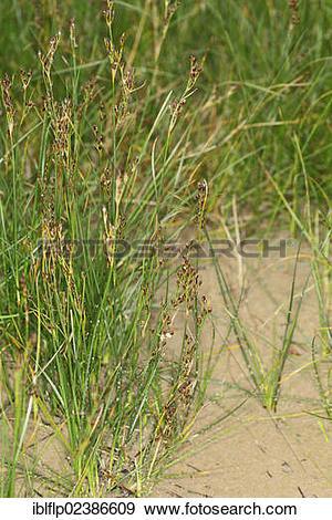 "Stock Photograph of ""Saltmarsh Rush (Juncus gerardii), growing on."