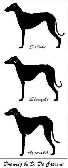 1000+ images about sighthounds on Pinterest.