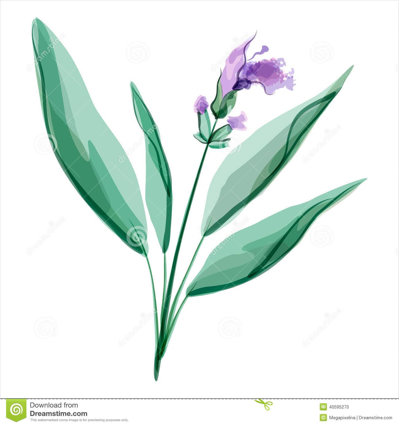 Salvia Stock Illustrations.