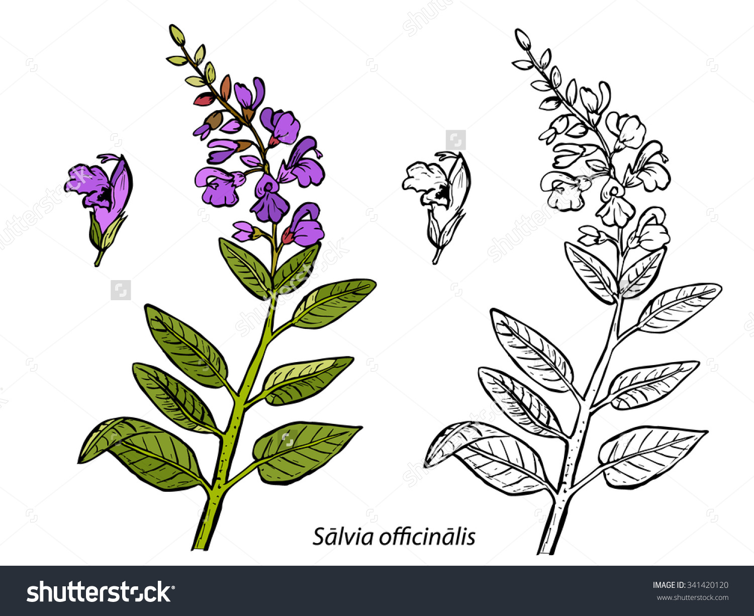 Salvia Sage Stock Vector 341420120.