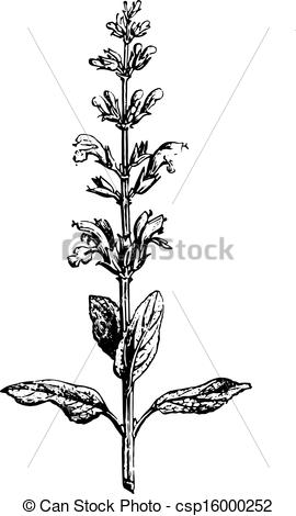 Clipart Vector of Sage or Salvia, vintage engraving..