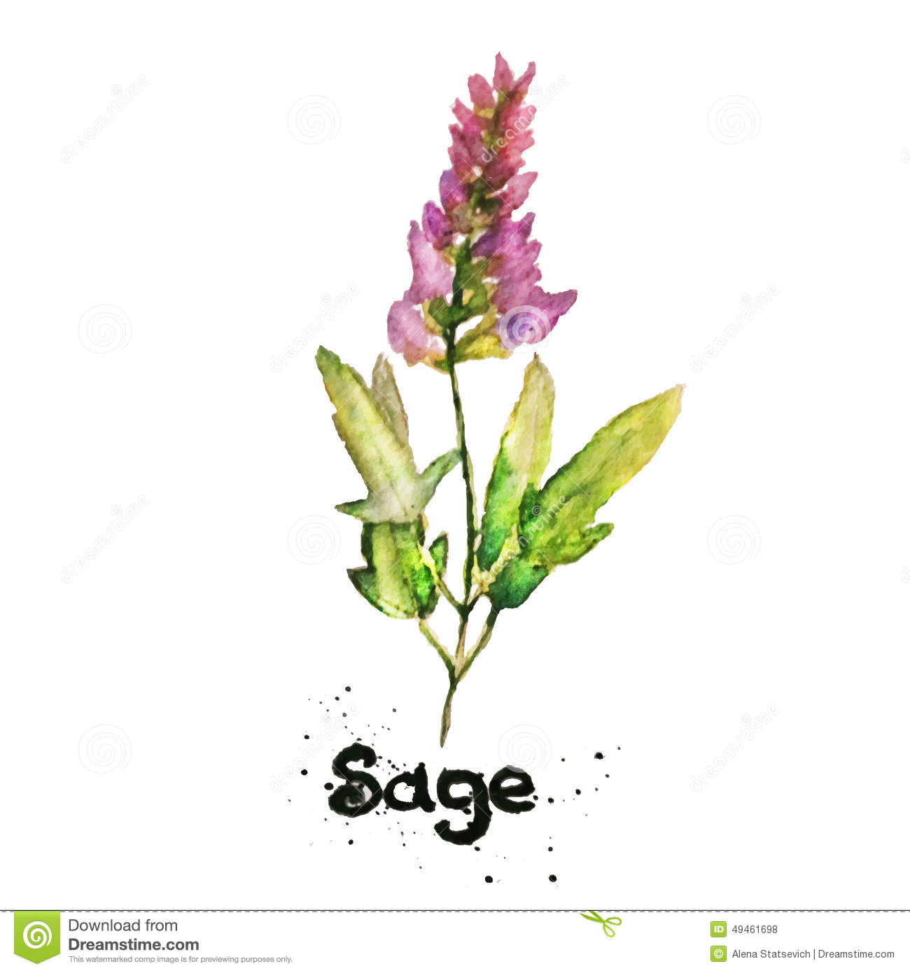 Salvia Stock Illustrations.