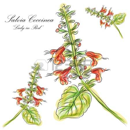 202 Salvia Stock Illustrations, Cliparts And Royalty Free Salvia.