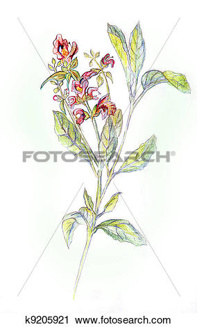 Clipart of Salvia officinalis. Drawing pencils k9205921.