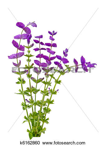 Salvia Stock Photos and Images. 3,956 salvia pictures and royalty.