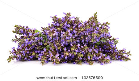Salvia Sage Stock Photos, Royalty.