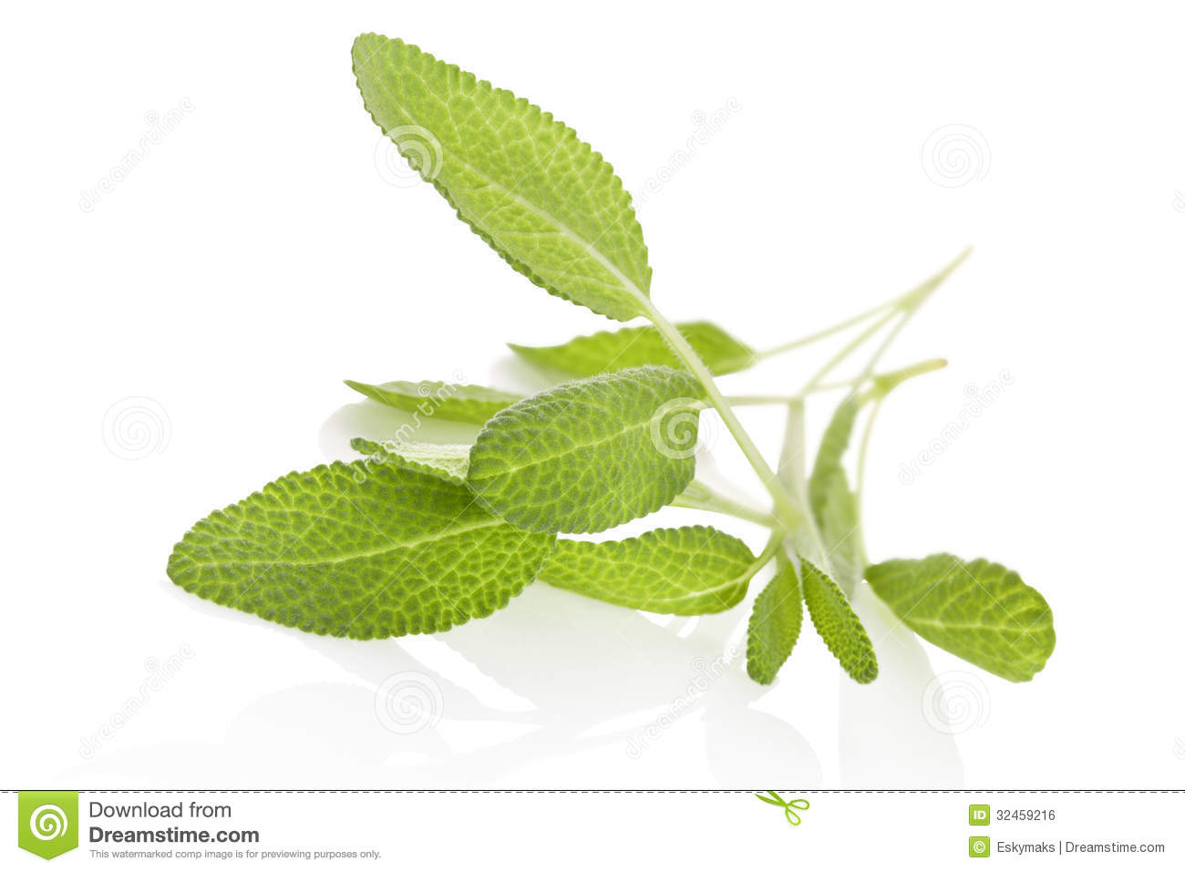 Salvia Over White. Royalty Free Stock Image.