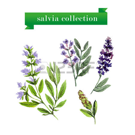 222 Salvia Stock Illustrations, Cliparts And Royalty Free Salvia.