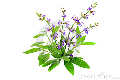 Salvia Officinalis Royalty Free Stock Photo.