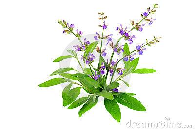 Salvia Officinalis Royalty Free Stock Photo.