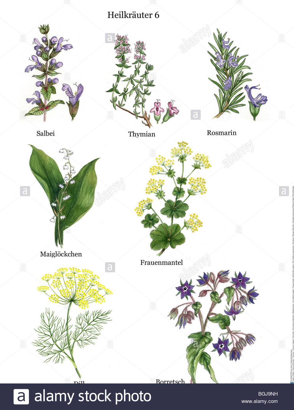 Remedial Plants: Sage.