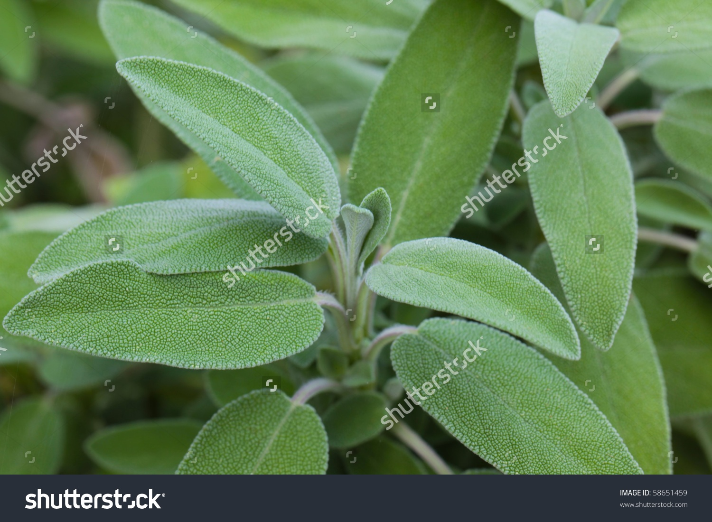 Sage Leaves Salvia Officinalis Stock Photo 58651459.
