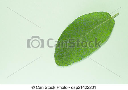 Stock Photography of sage leaf, salvia officinalis, light green.