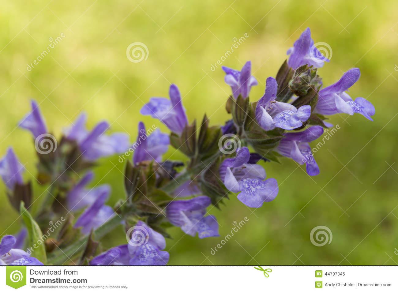 Common Sage Herb.