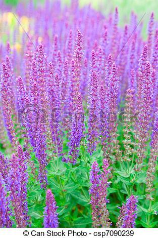 Stock Photographs of salvia officinalis. field of sage.