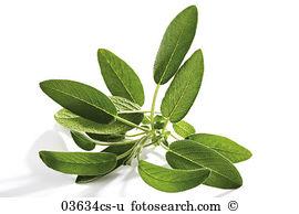 Salvia officinalis Images and Stock Photos. 1,127 salvia.