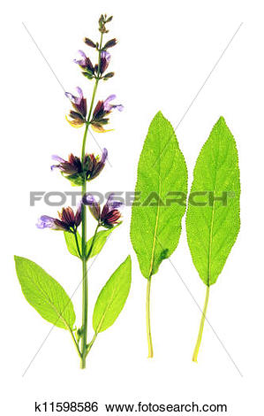 Stock Images of Sage (Salvia officinalis) k11598586.