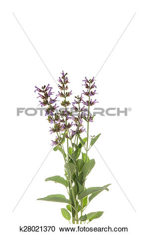 Stock Photography of Salvia officinalis k28021370.