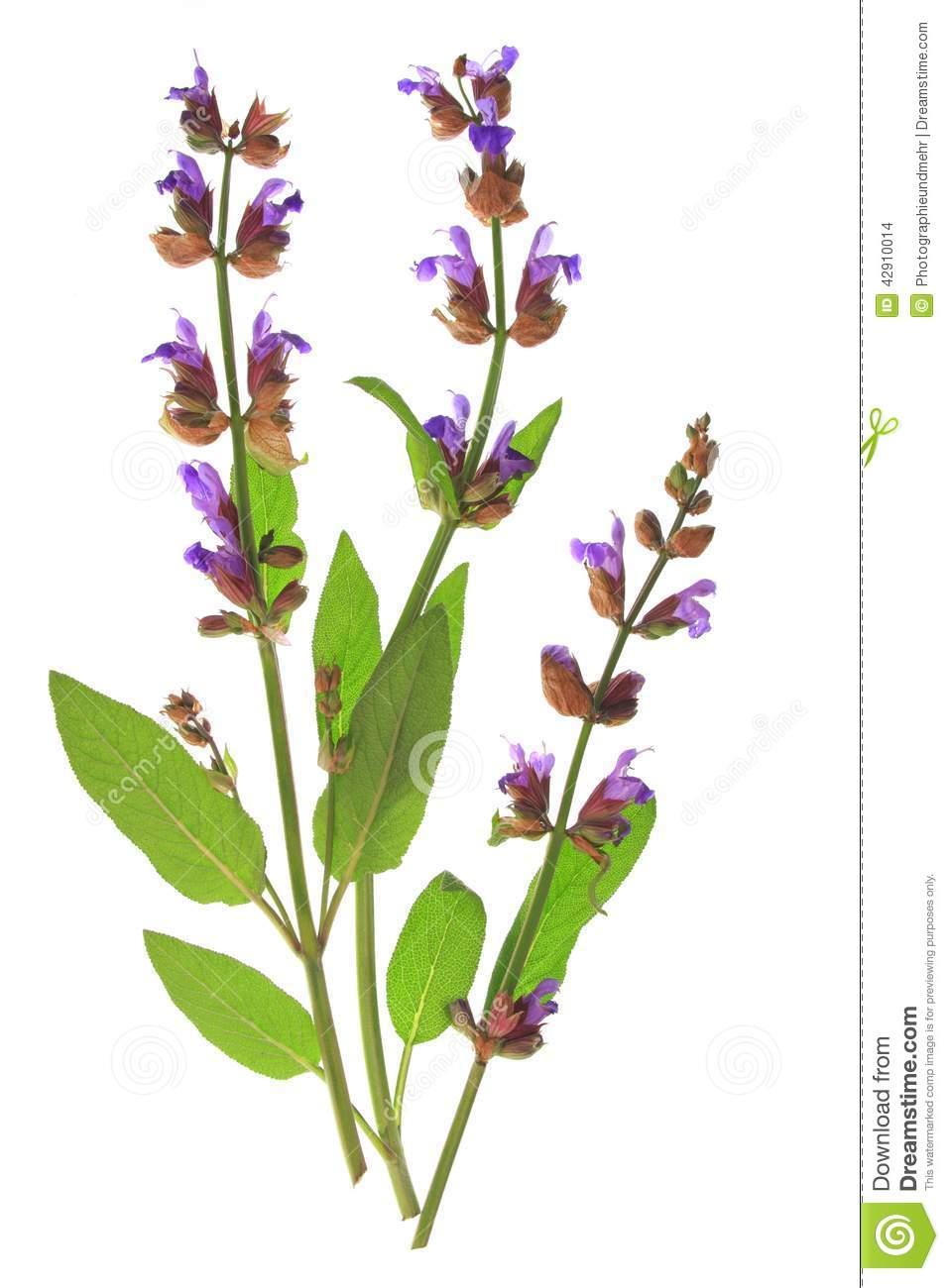 Sage (Salvia Officinalis) Stock Photo.