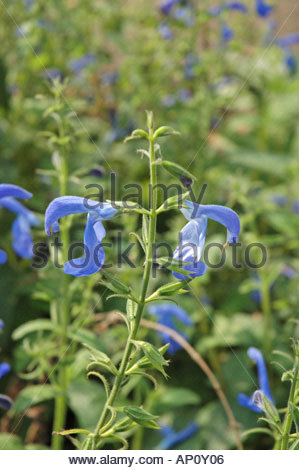 Salvia Flowers Stock Photos & Salvia Flowers Stock Images.