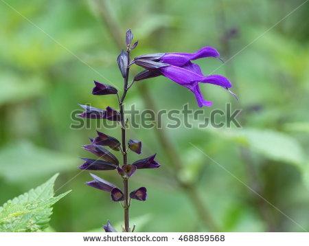 Salvia patens clipart #3