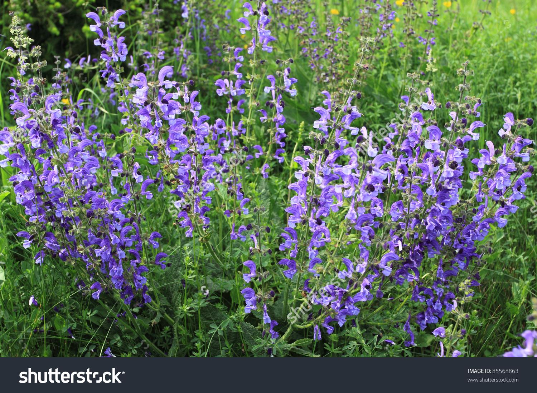 Meadow Sage Salvia Pratensis Herbaceous Perennial Stock Photo.