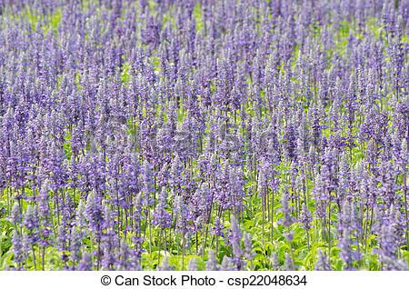 Stock Photos of Salvia pratensis.